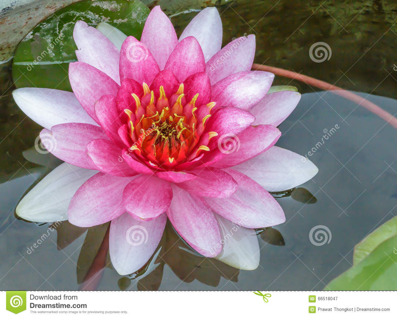 Pink Lotus Flower Water Stock Image Image Of Blossom 66518047
