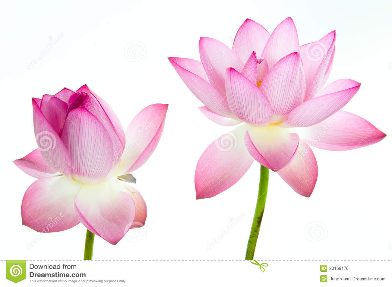 Pink Lotus Flower And White Background Stock Photo 20168176 Megapixl