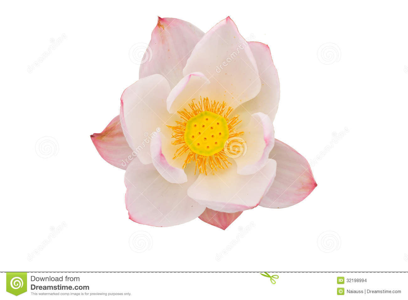 Pink Lotus Flower On White Background Stock Photo Image Of Bloom