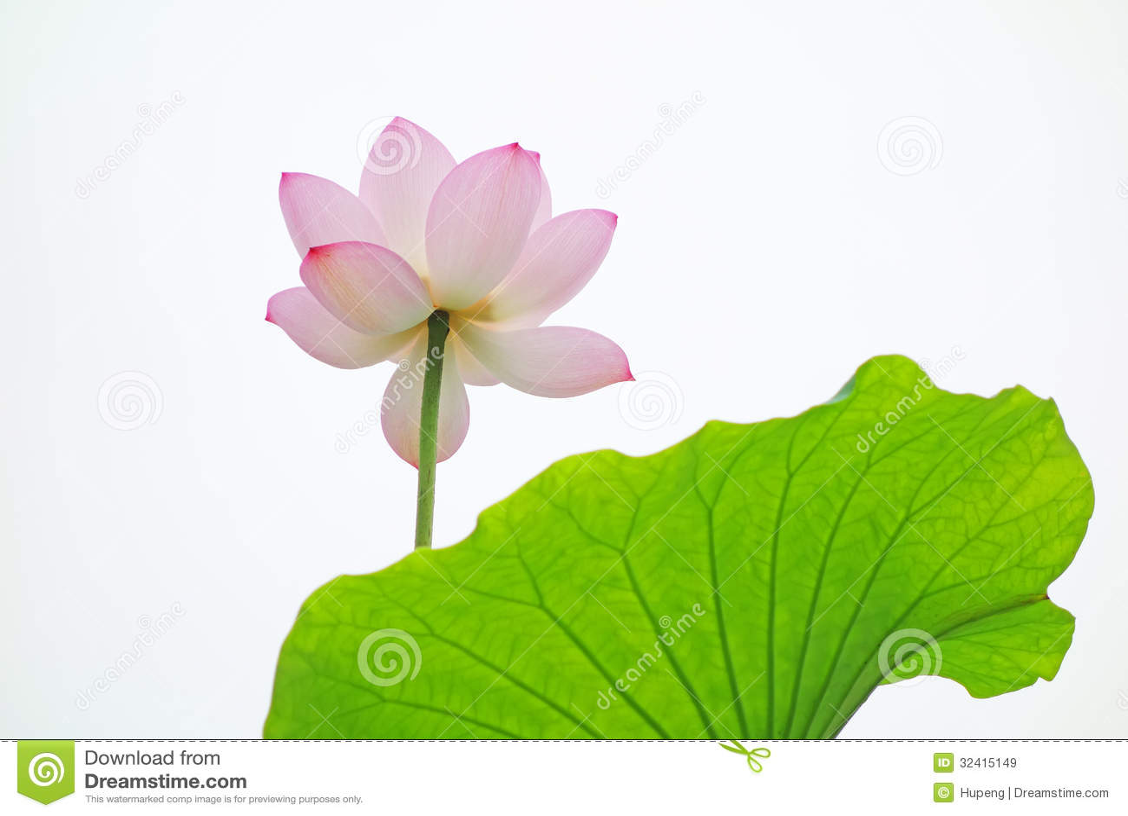 Pink lotus flower on the white background stock image image of pink lotus flower on the white background izmirmasajfo