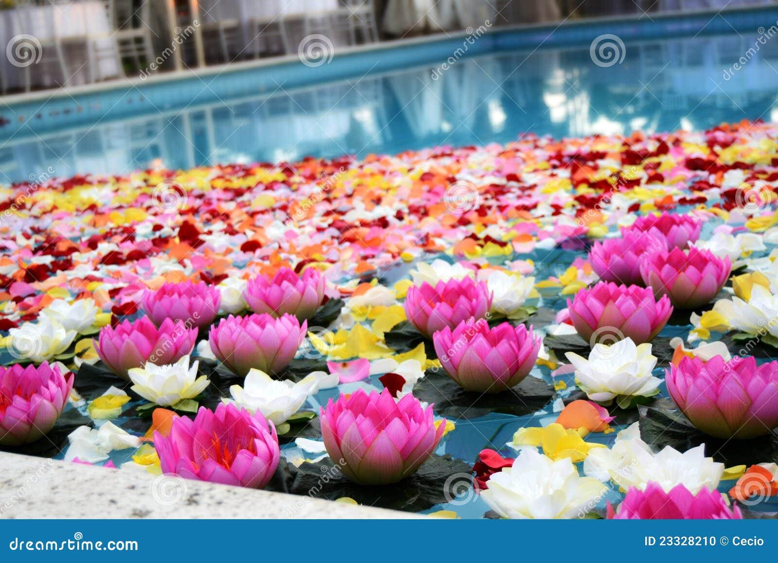 Pink Lotus Flowers in Pool stock photo. Image of display - 23328210
