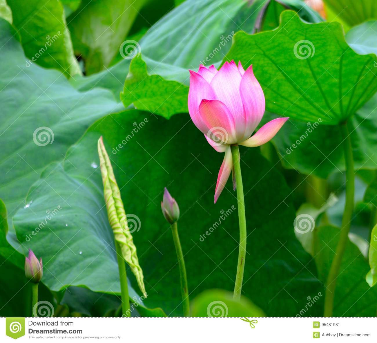 Pink Lotus And A Leaf Stock Image Image Of Abstract 95481981