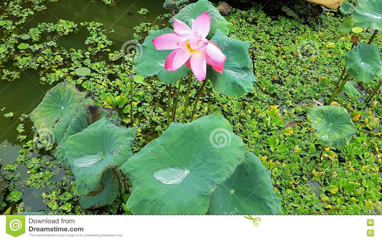 Pink Lotus And The Lemna Minor Pond Stock Photo - Image ...