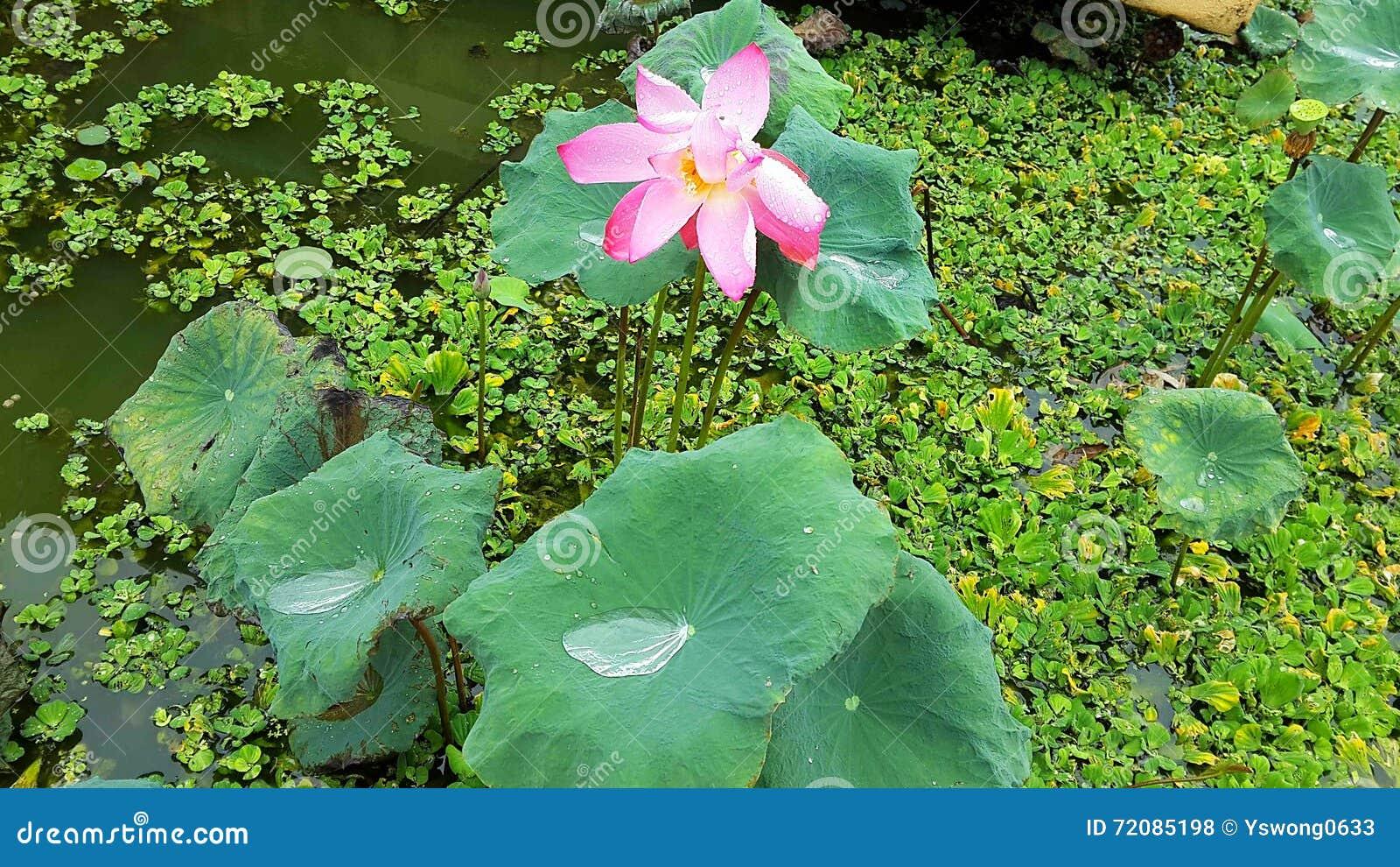 Pink Lotus And The Lemna Minor Pond Stock Photo - Image ...
