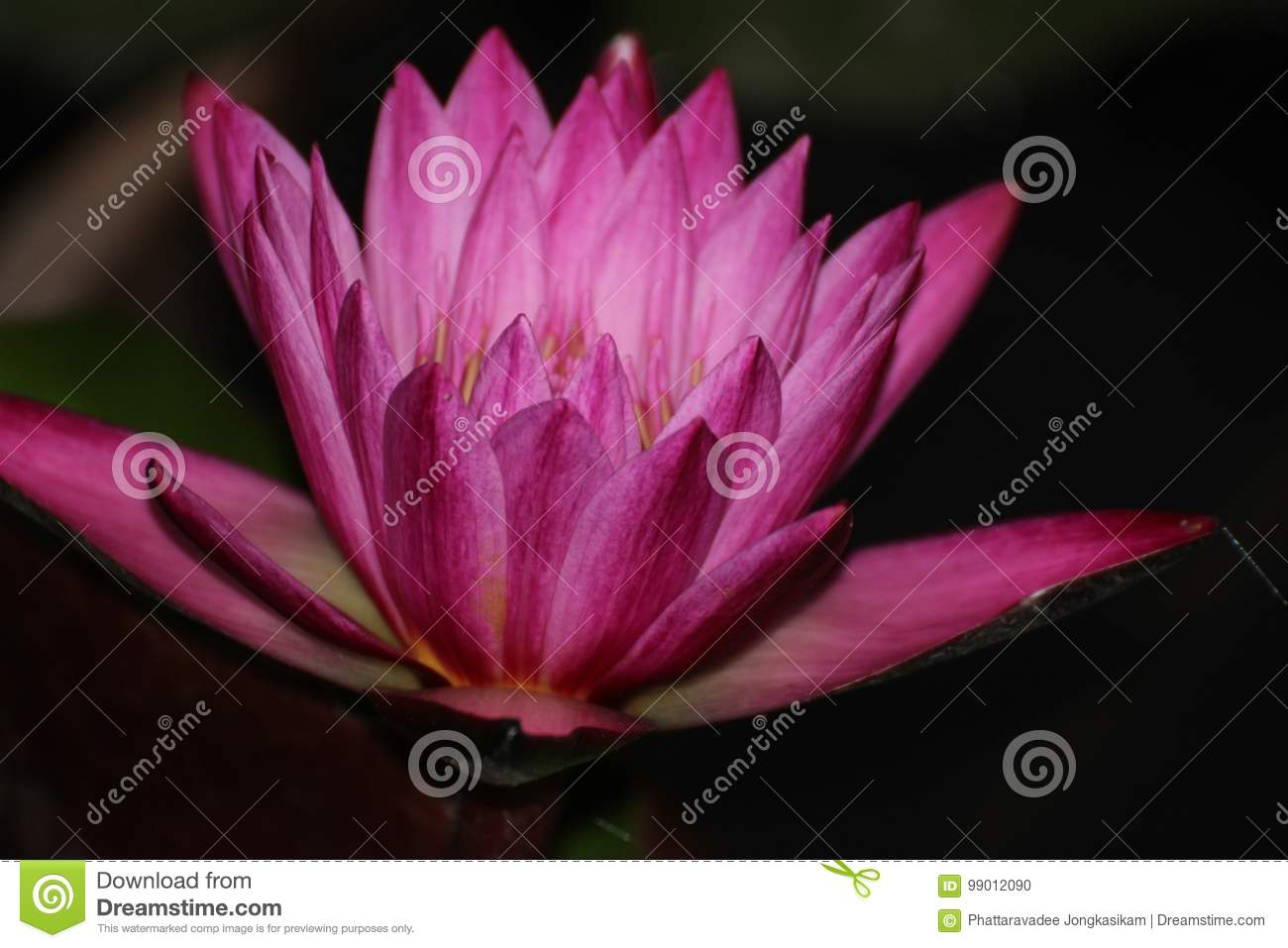 Pink Lotus In The Night Stock Photo Image Of Blackguard 99012090