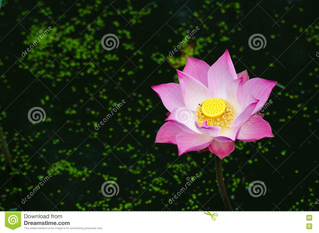 Pink lotus in the pond stock images image 22845164 for Flowers that represent love