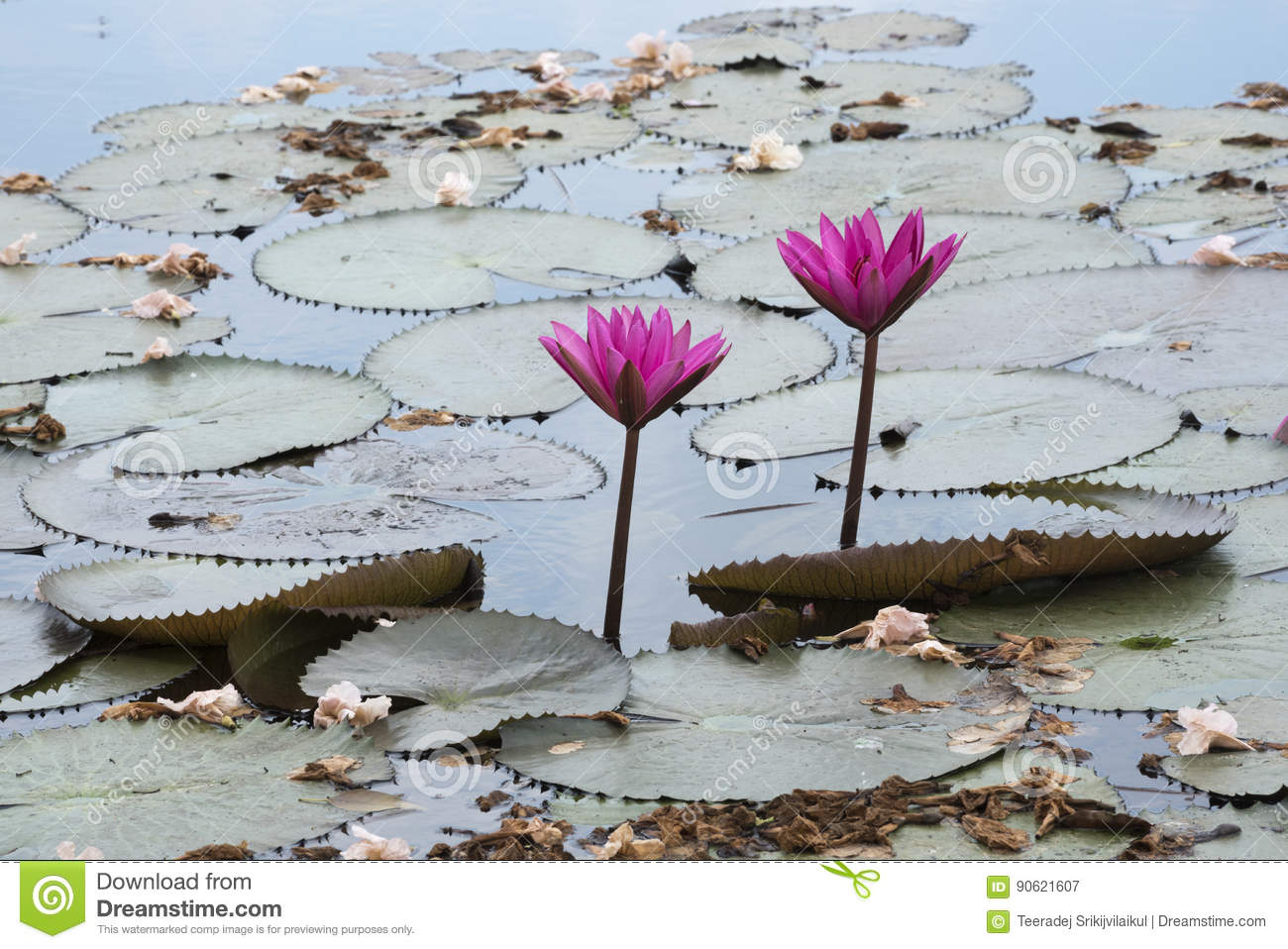 Pink lotus and tabbebuia rosea stock image image of exotic pink lotus and tabbebuia rosea mightylinksfo