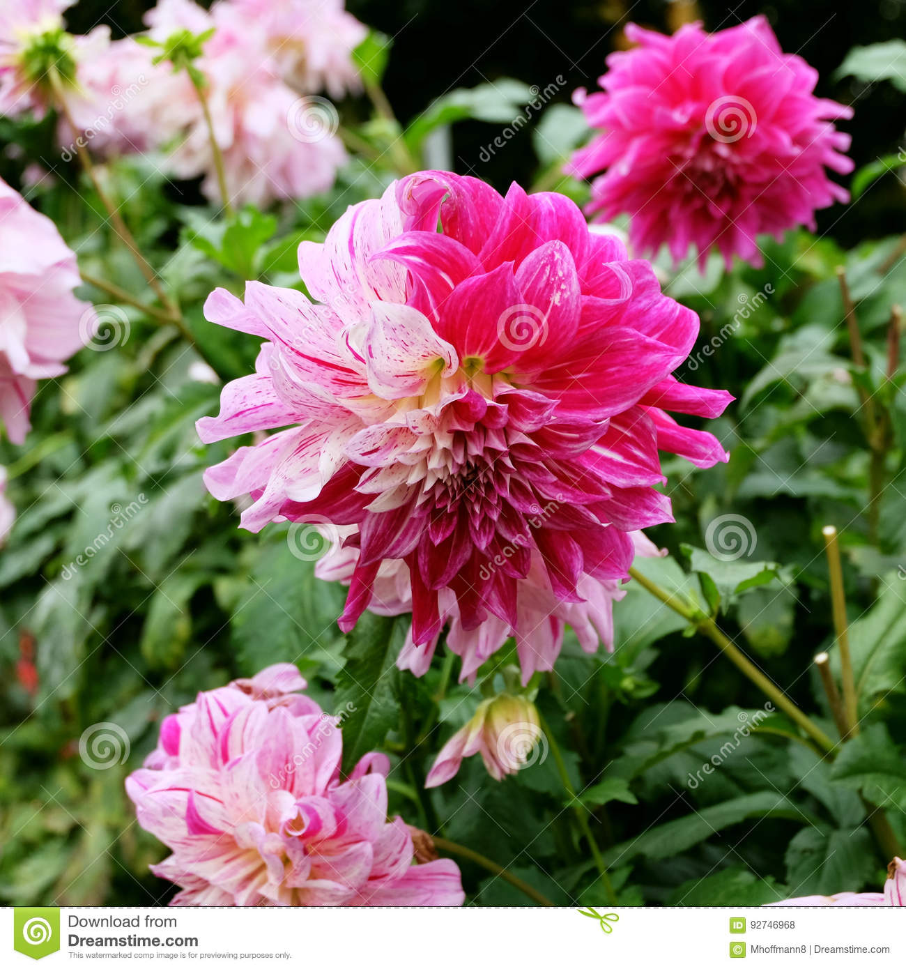 A pink magenta and white colored dahlia dalia flower in a garden a pink magenta and white colored dahlia dalia flower in a garden with other dahlias izmirmasajfo