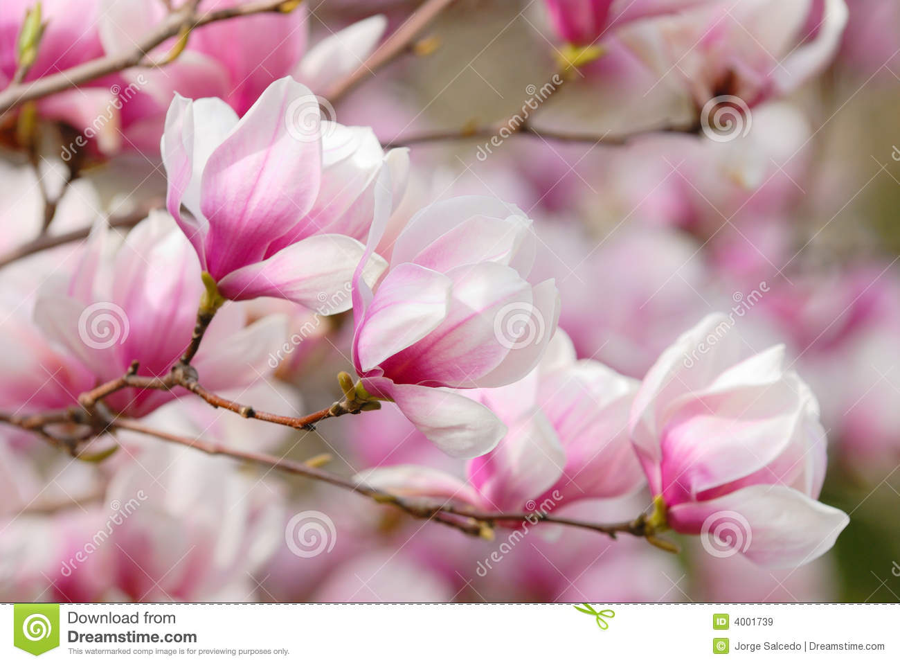 Pink Magnolia Blossoms Stock Image Image Of Pink Beautiful 4001739