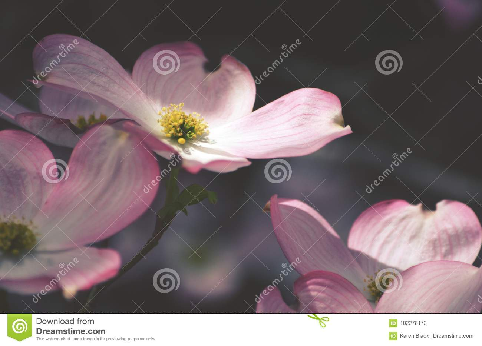 Pink Dogwood Flower Stock Photo Image Of Yellow Blossom 102278172