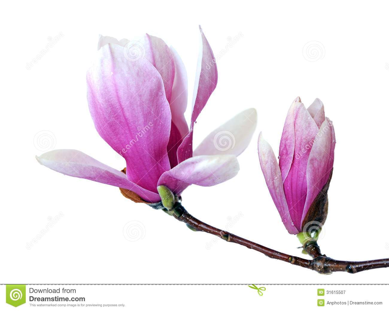 Pink Magnolia Flower Stock Image Image Of Beauty Branch 31615507