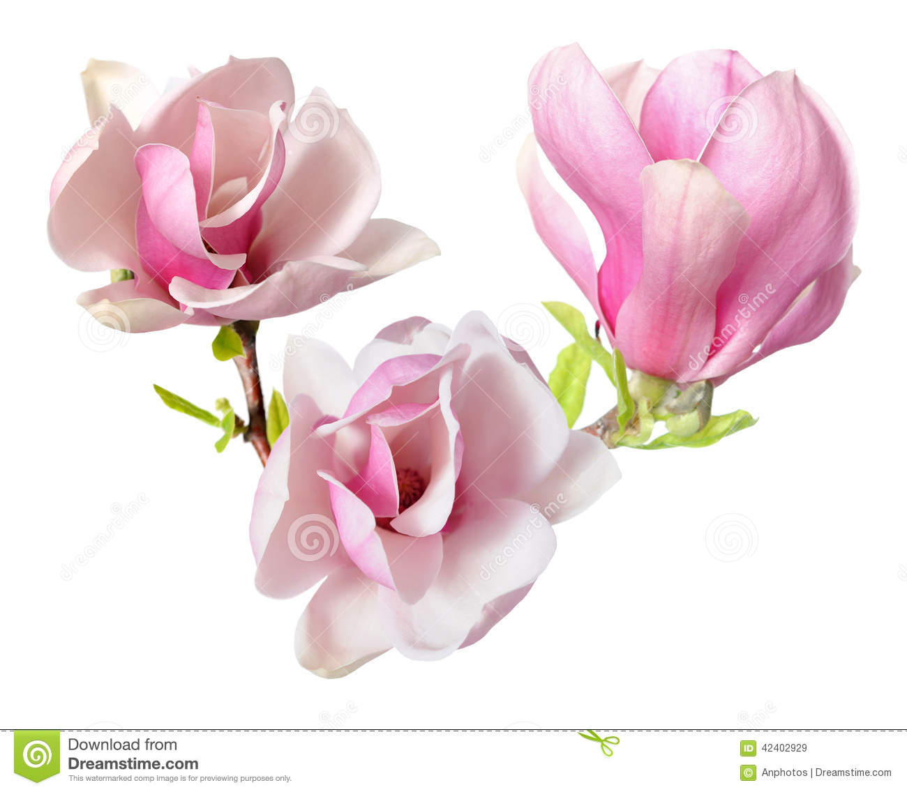 Pink Magnolia Stock Image Image Of Spring Isolate Botany 42402929