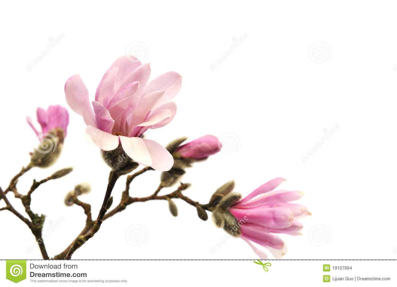 Pink Magnolia Flowers Isolated On White Stock Photo Image Of Tree