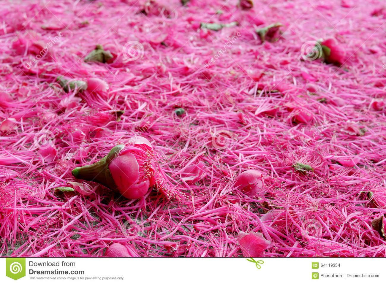 The Pink Malay Apple Flowers On The Ground Stock Photo