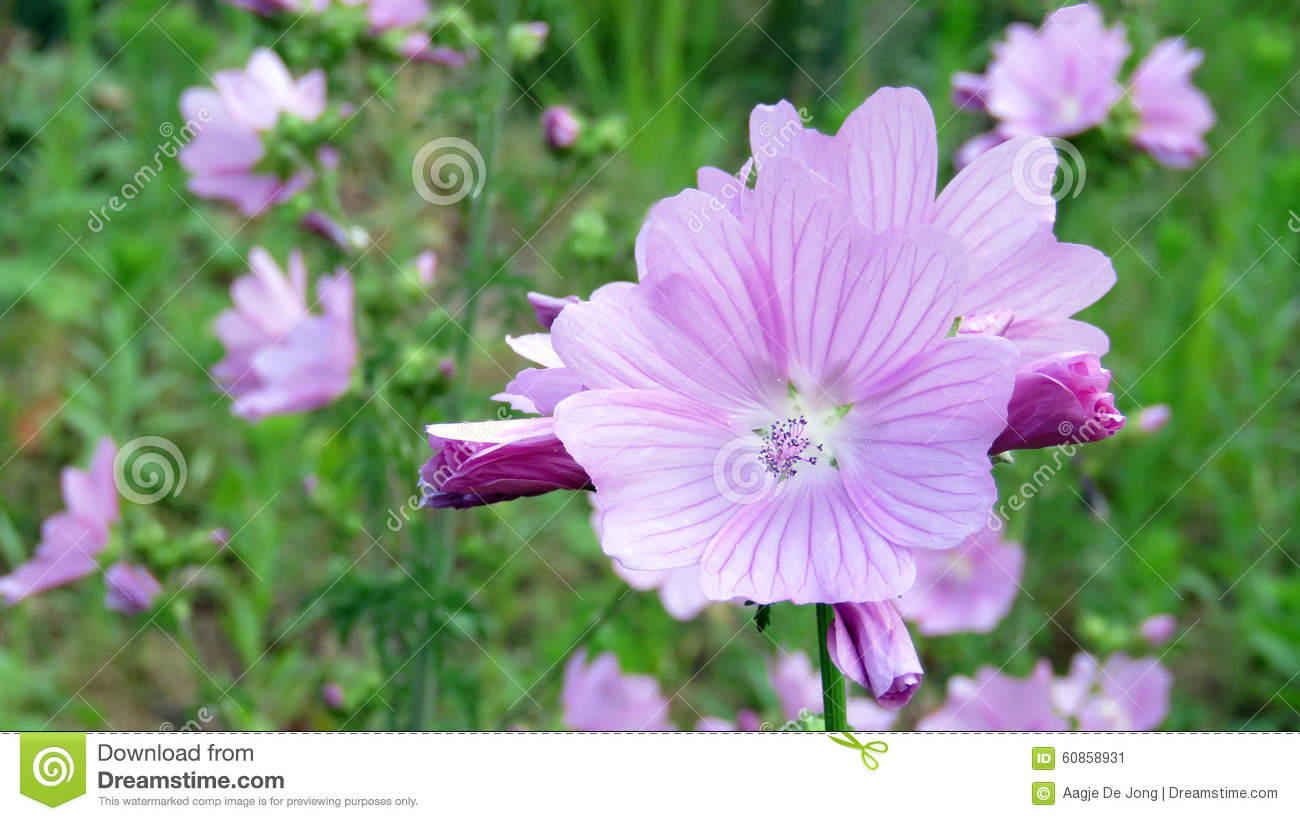 Pink Mallow Flower Or Malva Alcea Stock Image Image Of Volkspark