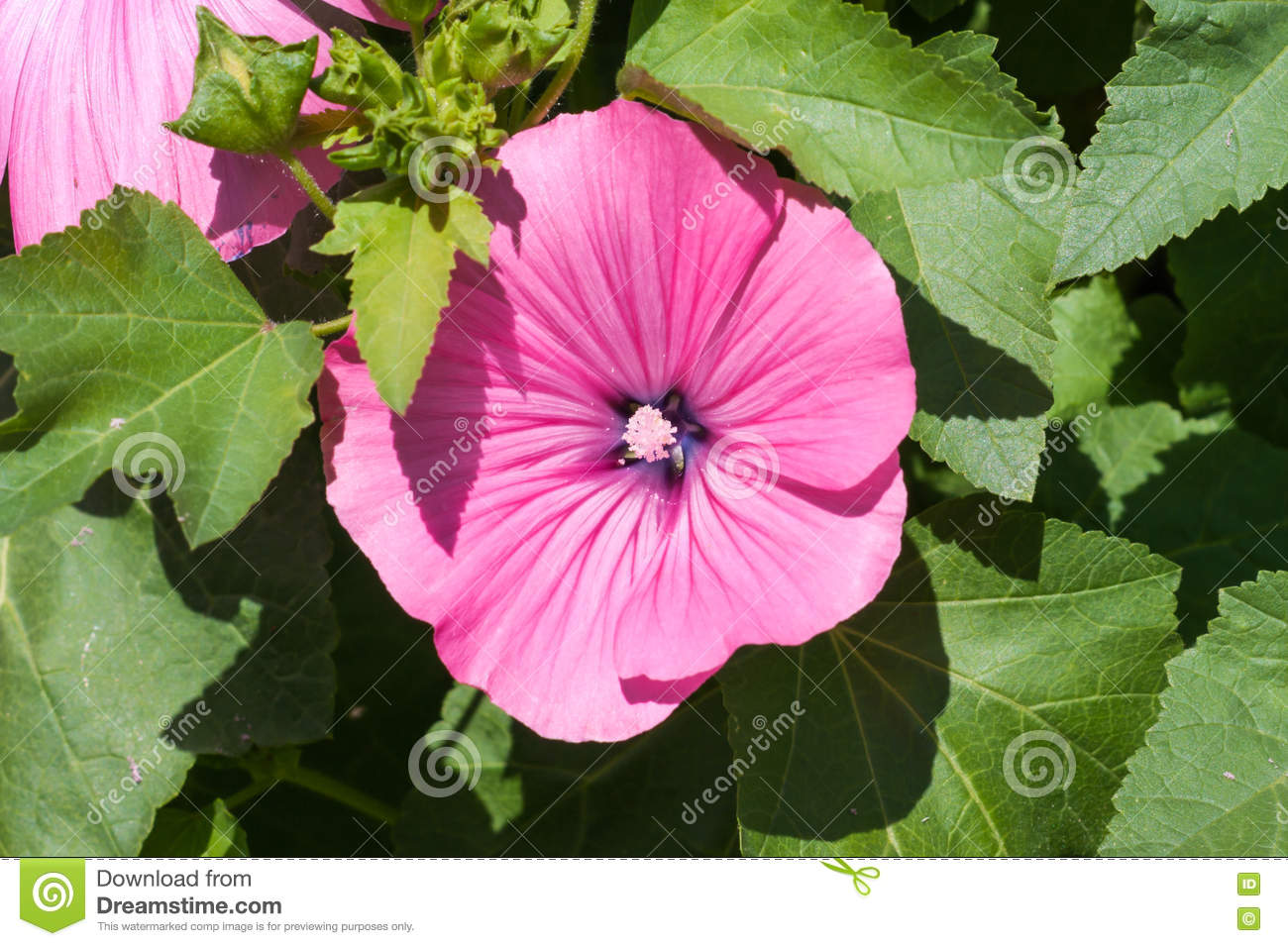 Pink mallow flowers in the garden lavatera trimestris blossoming download comp mightylinksfo