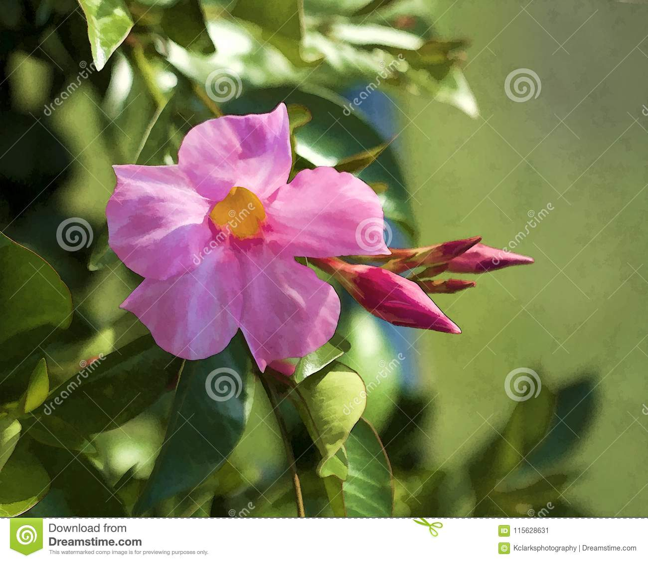 Pink Mandevilla Vine Blossom And Buds Stock Image Image Of Green
