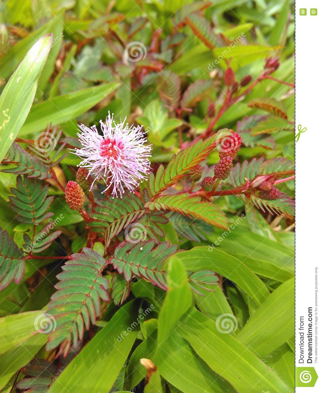 Pink Mimosa Flower Stock Image Image Of Blades Asia 77783523