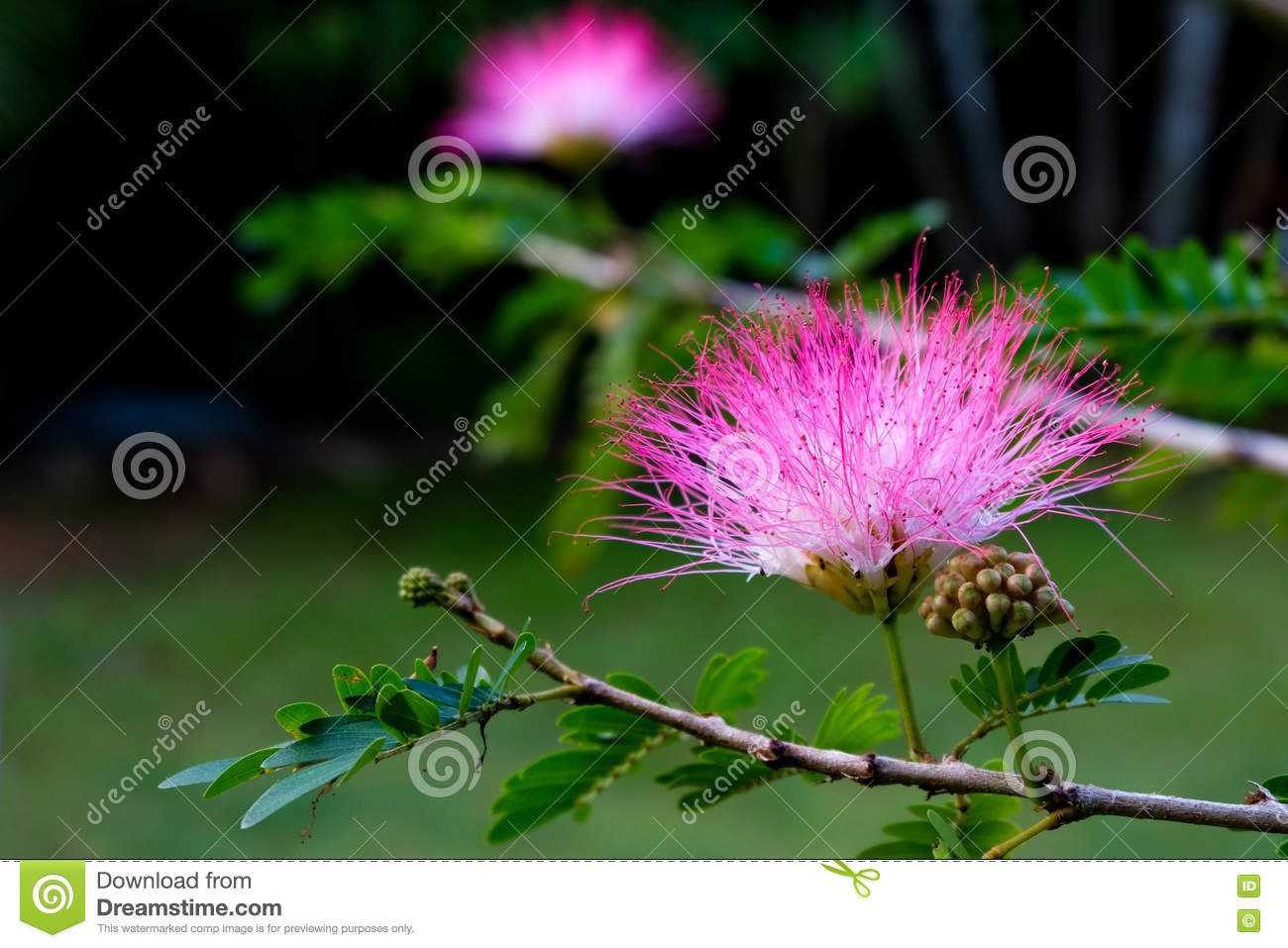 Pink Mimosa Flowers Stock Image Image Of Natural Leaf 70894771