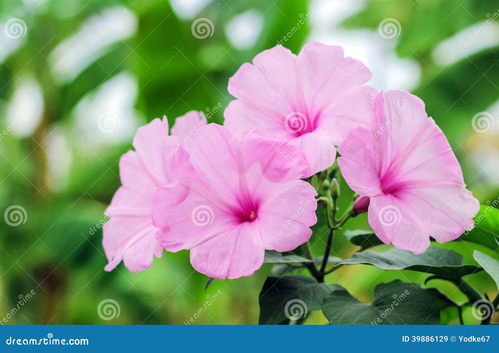 Pink Morning Glory Beautiful Flowers Stock Image Image Of Morning