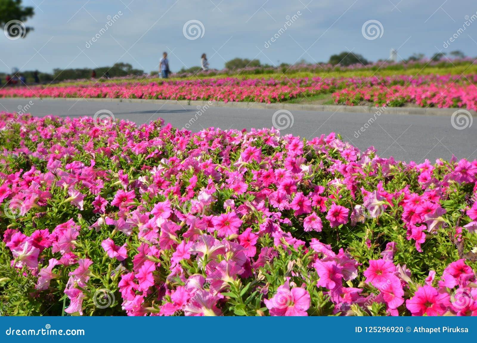 Pink morning glory flower garden in the park