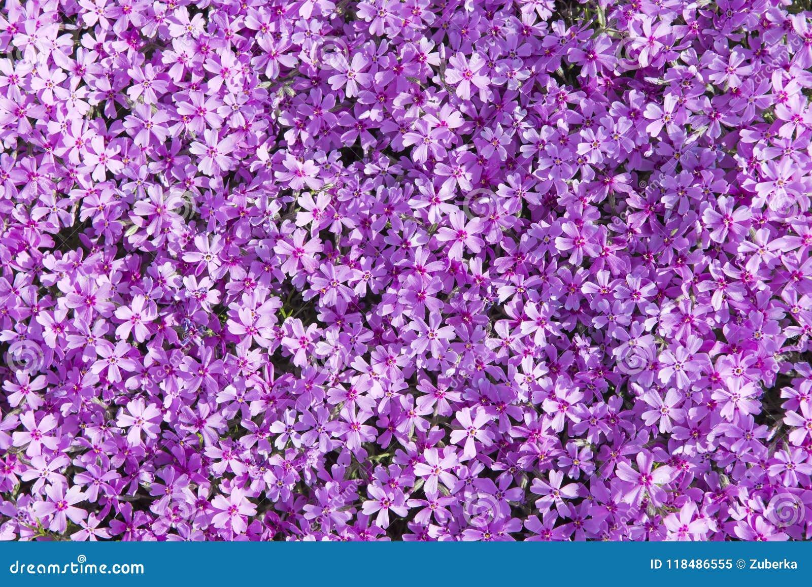 Pink Moss Phlox Background Stock Image Image Of Botanical 118486555