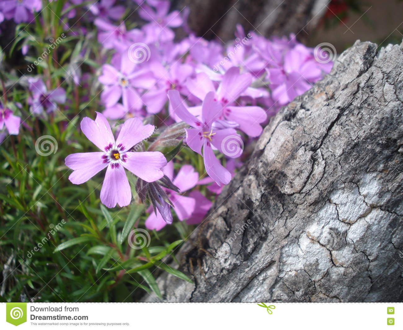 Pink Moss Phlox Flowers In The Garden Stock Photo Image Of Moss