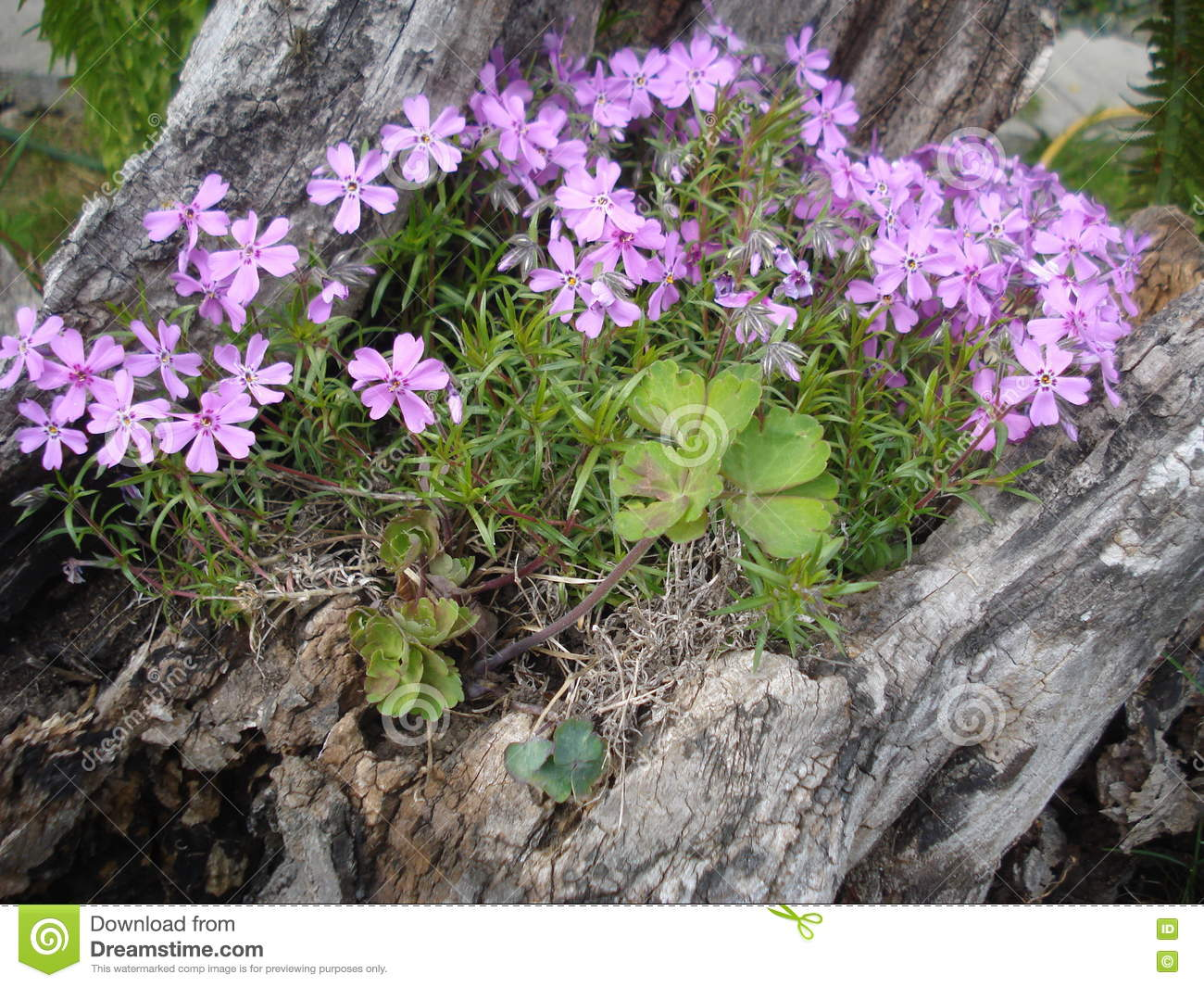 Pink Moss Phlox Flowers In The Garden Stock Photo Image Of Green