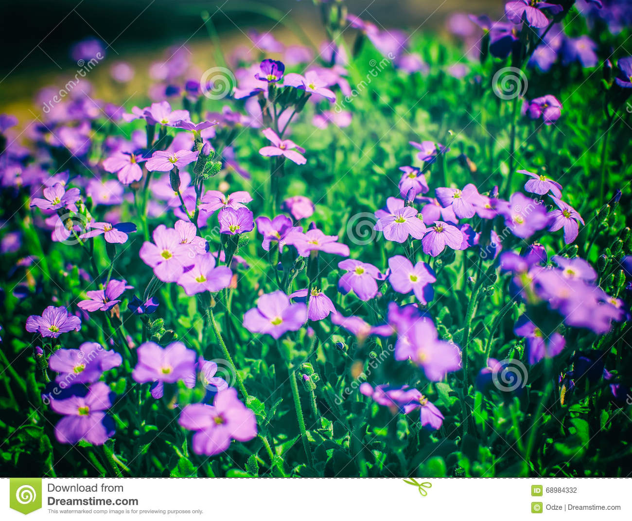 Pink moss phlox flowers stock photo image of botanical 68984332 pink moss phlox flowers mightylinksfo