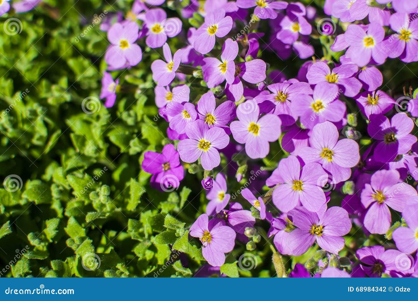Pink Moss Phlox Flowers Stock Photo Image Of Botanical 68984342