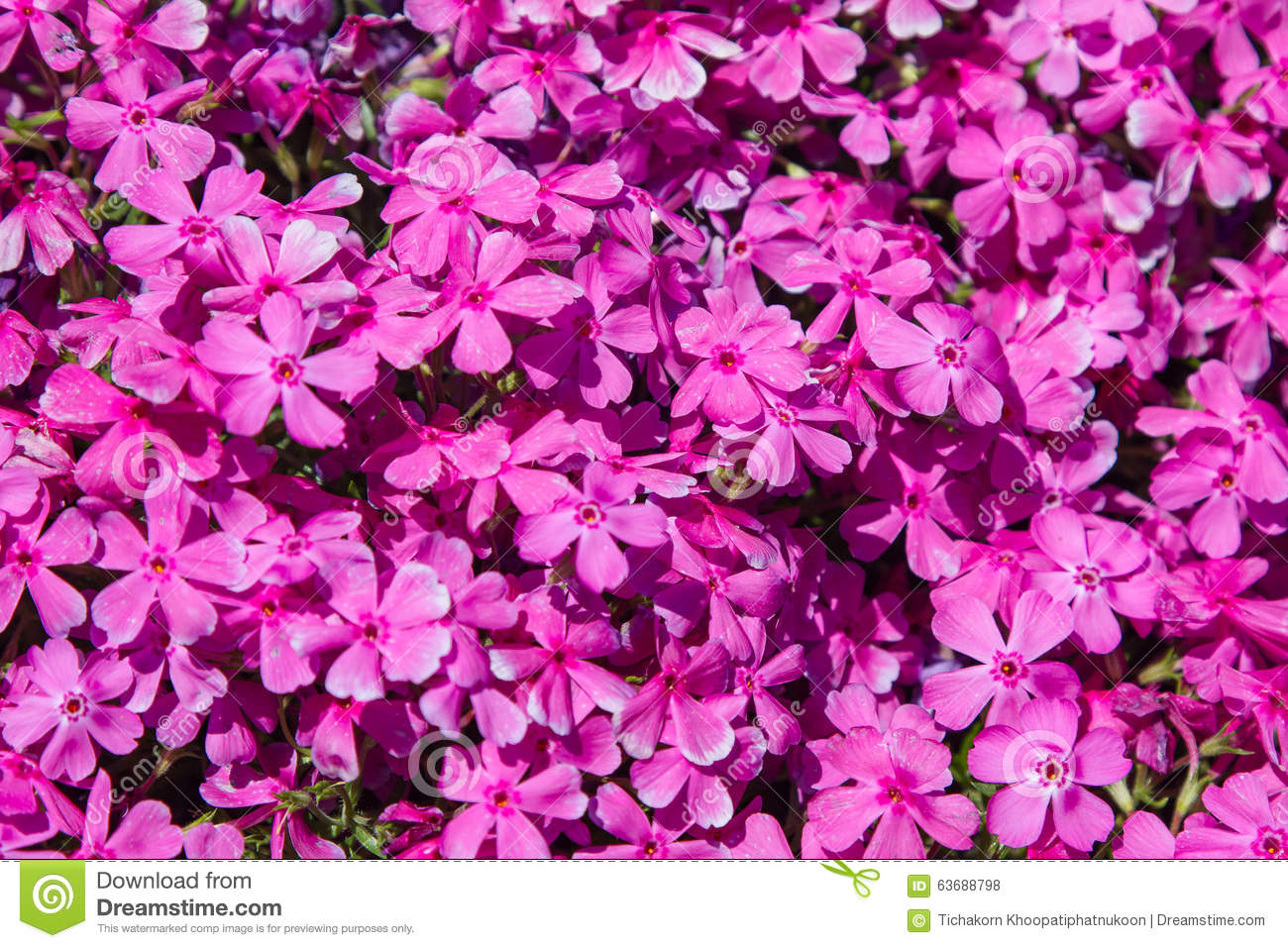 Pink Moss Phlox Flowers Stock Photo Image Of Spectacular 63688798