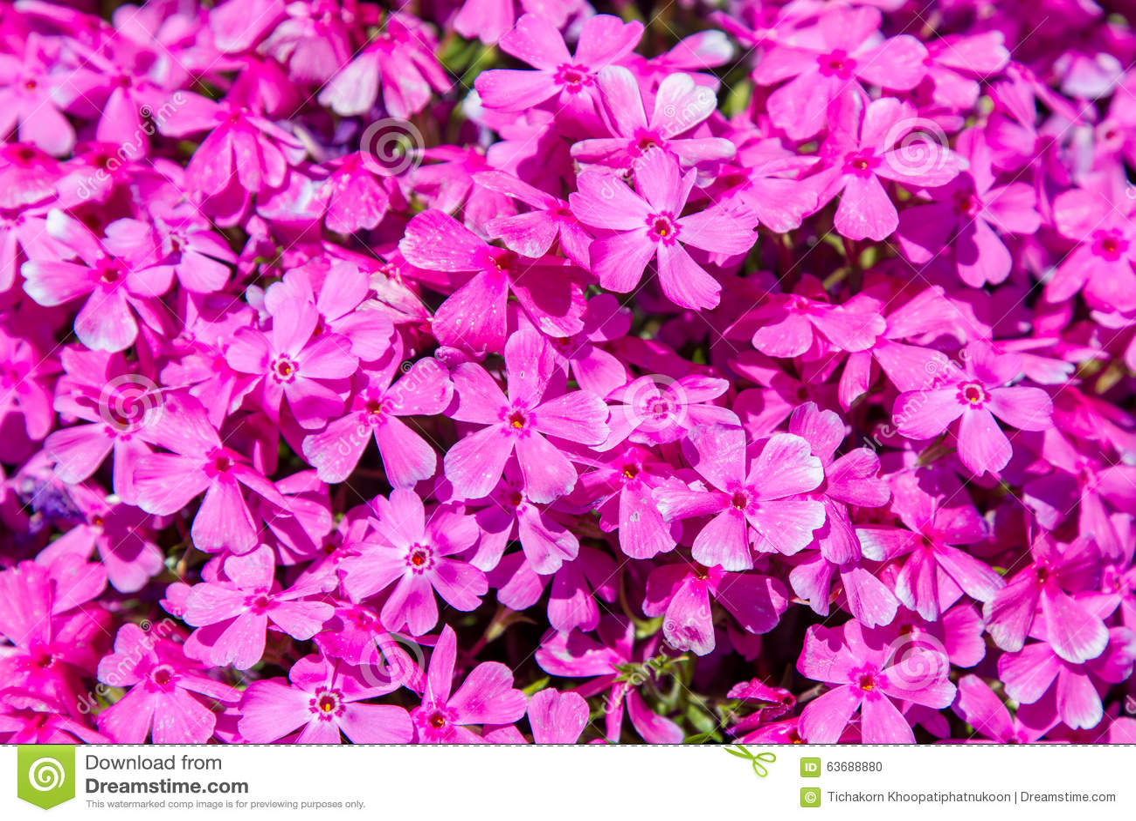 Pink Moss Phlox Flowers Stock Photo Image Of Japan Side 63688880