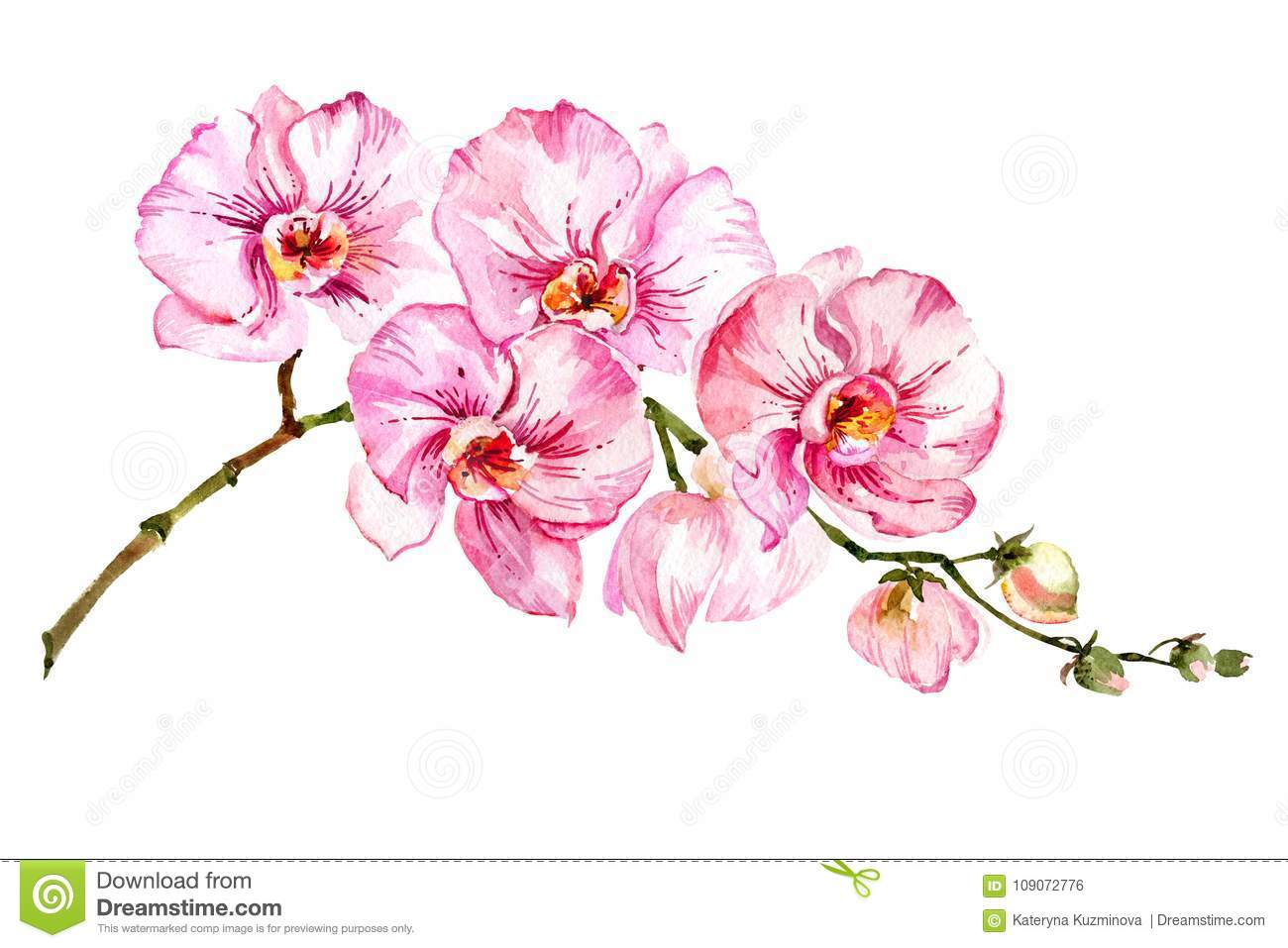 36b4ad1f4 Pink moth orchid Phalaenopsis flower on a twig. Isolated on white  background. Watercolor painting. Hand drawn.