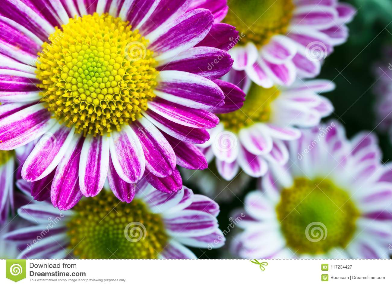 Pink Mums Flowers Blooming In The Garden Stock Image Image Of