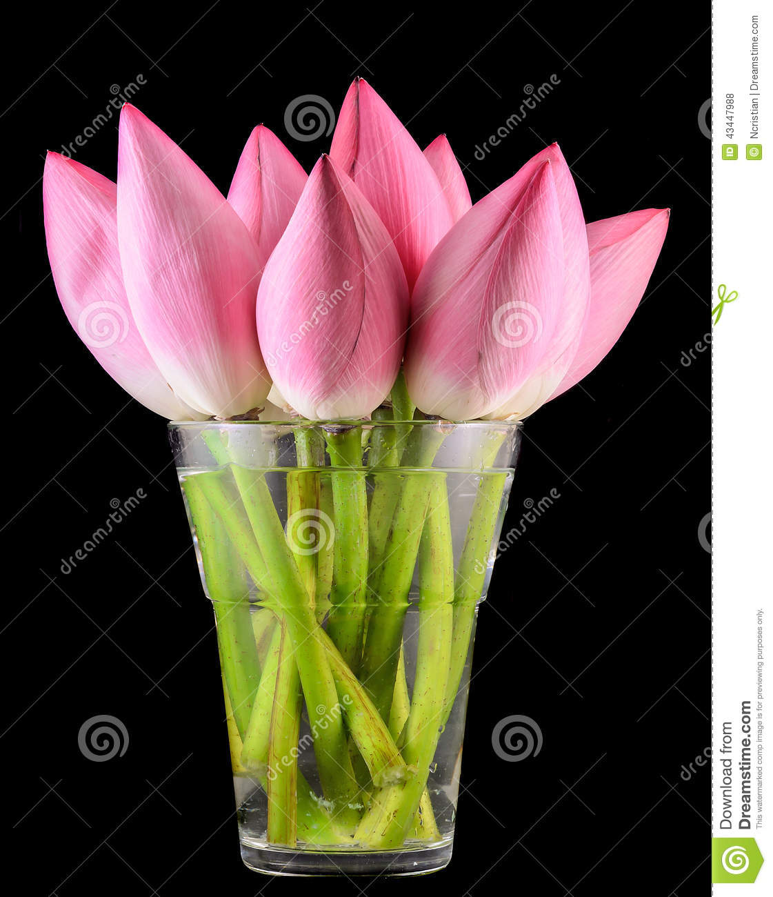 Pink nelumbo nucifera flowers in a transparent vase close up stock pink nelumbo nucifera flowers in a transparent vase close up stock photo image of nelumbo flora 43447988 mightylinksfo