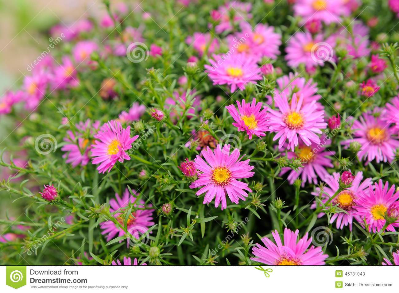 pink new york aster flowers stock photo  image, Beautiful flower