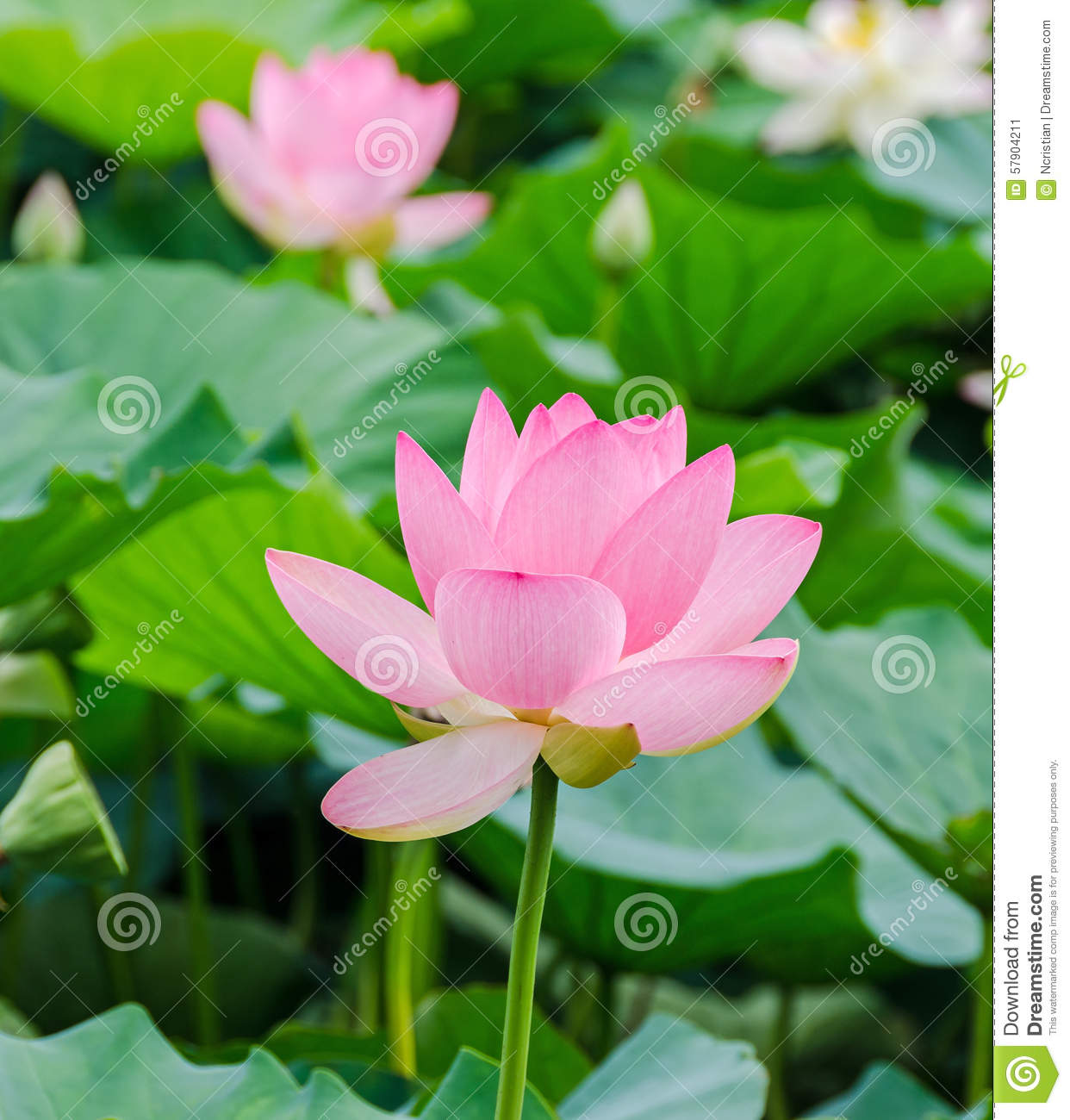 Pink Nuphar Flowers Green Field On Lake Water Lily Pond Lily