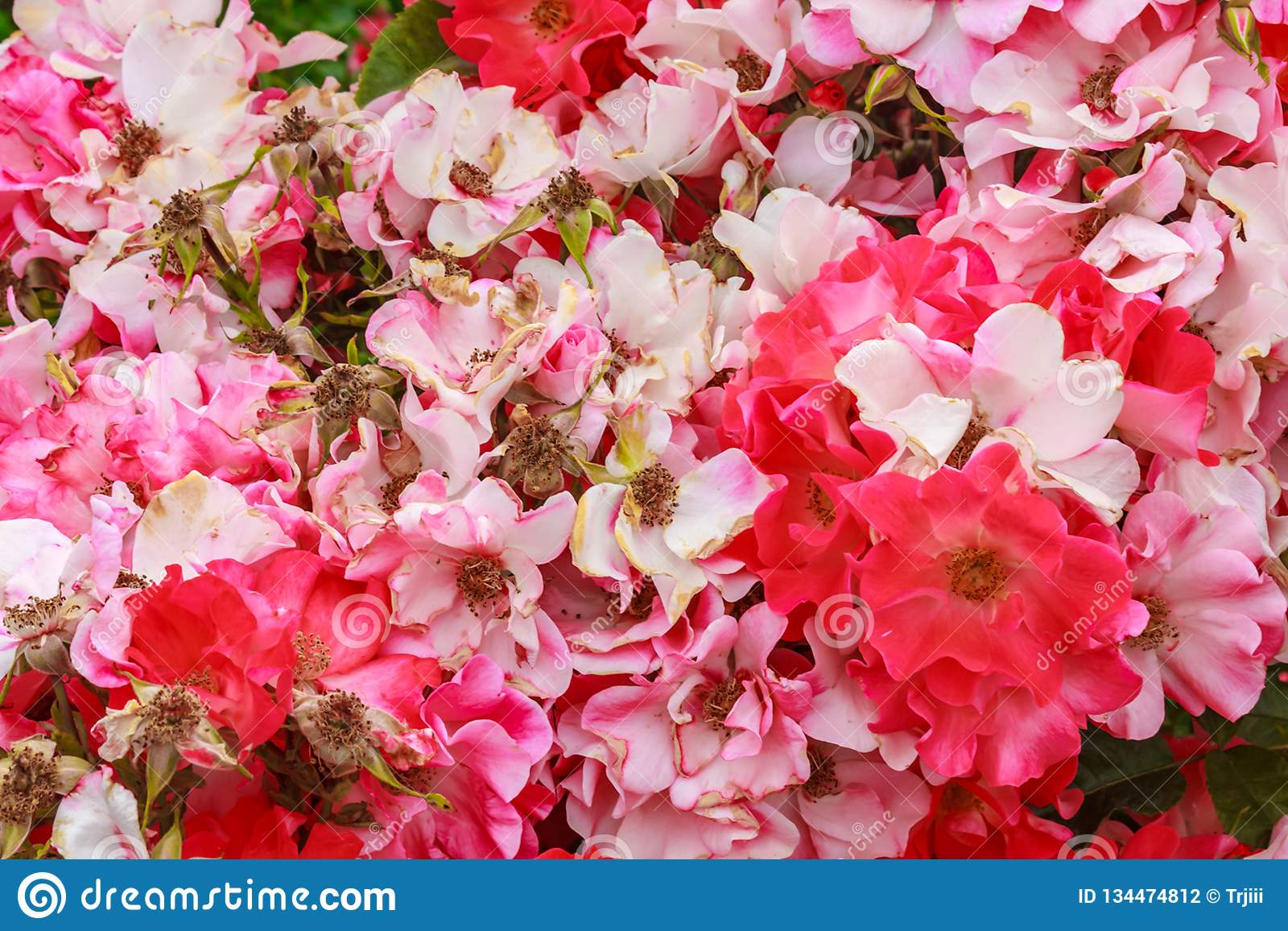 Pink old fashioned wild roses grouped together tightly. In late summer in washington state stock photography