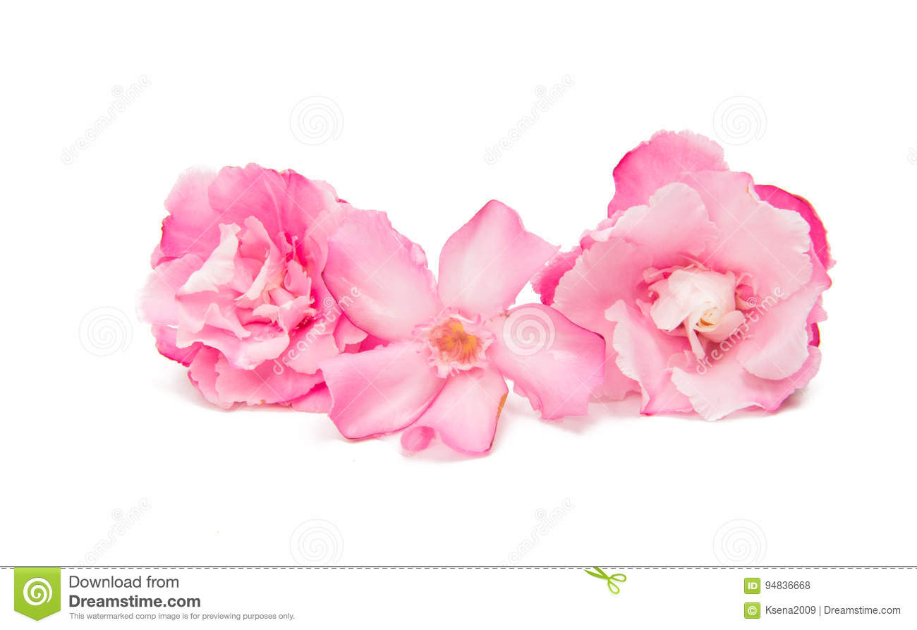 Pink Oleander Flower Isolated Stock Photo Image Of Pretty Nature