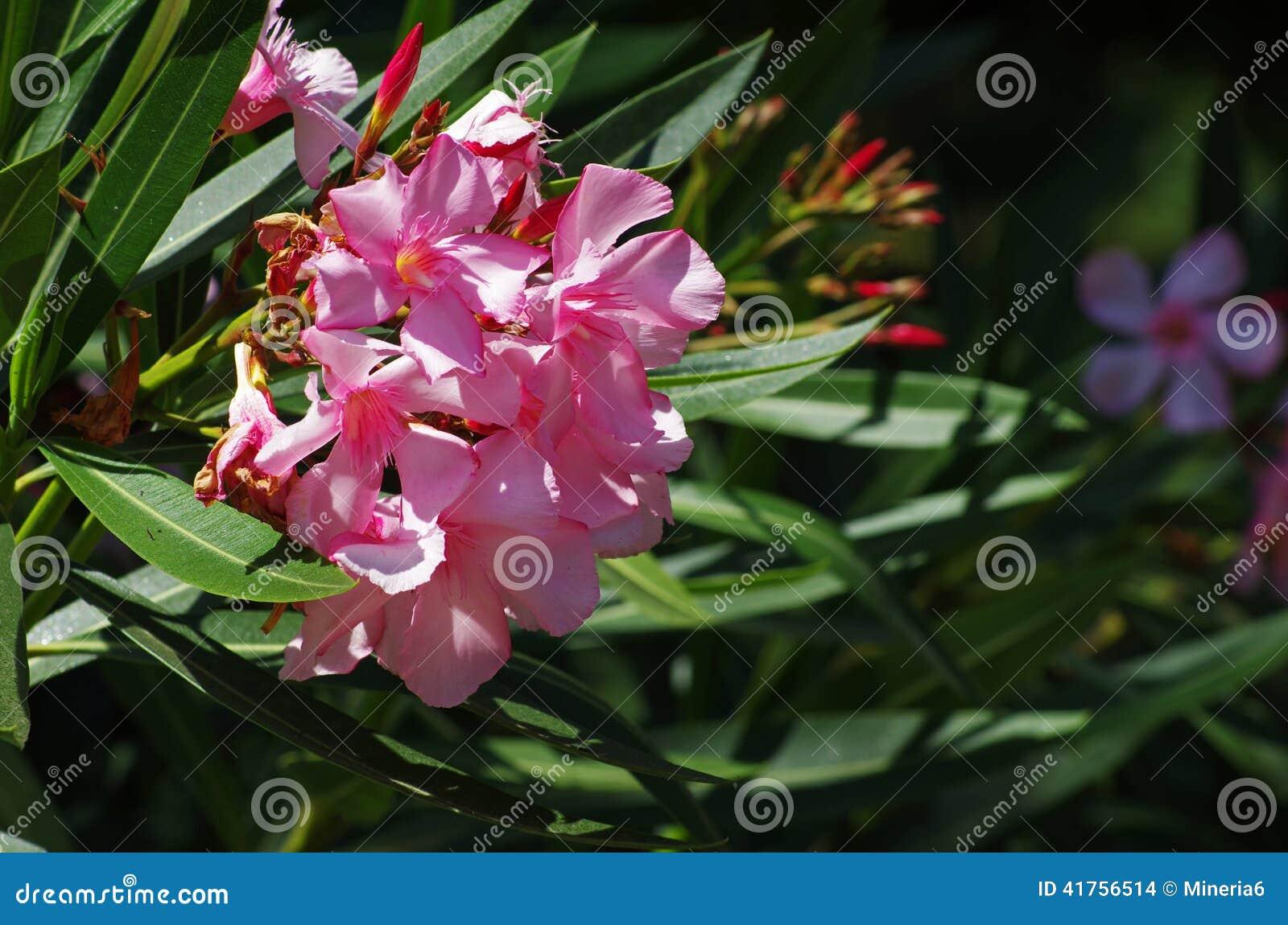 Pink oleander flowers stock photo image of petals leaf 41756514 mediterranean pink oleander flowers barcelona spain mightylinksfo
