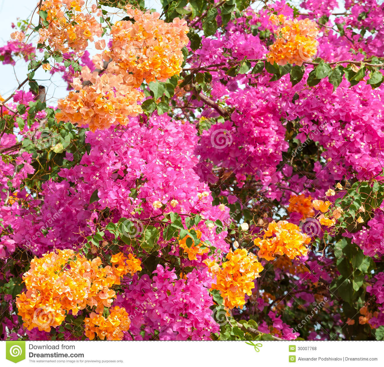 Pink and orange bushes stock photo image of asia flowers 30007768 pink and orange bushes mightylinksfo
