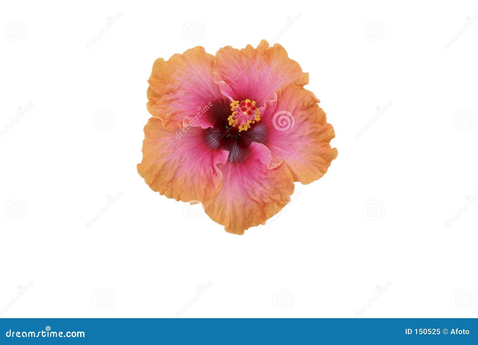 Pink/orange hibiscus isolated