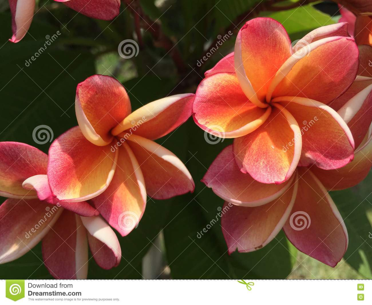 Pink And Orange Plumeria Flower In Garden Stock Image Image Of
