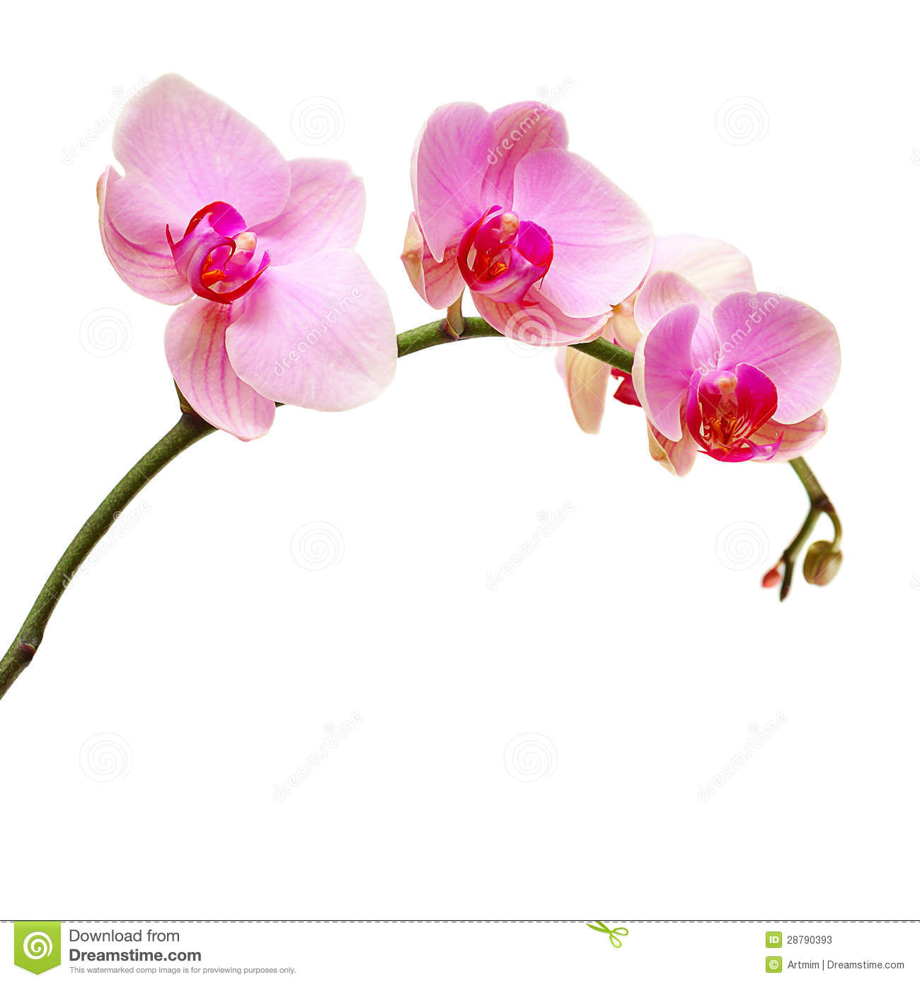 Beautiful Pink Orchid Isolated On White Royalty Free Stock Image ...