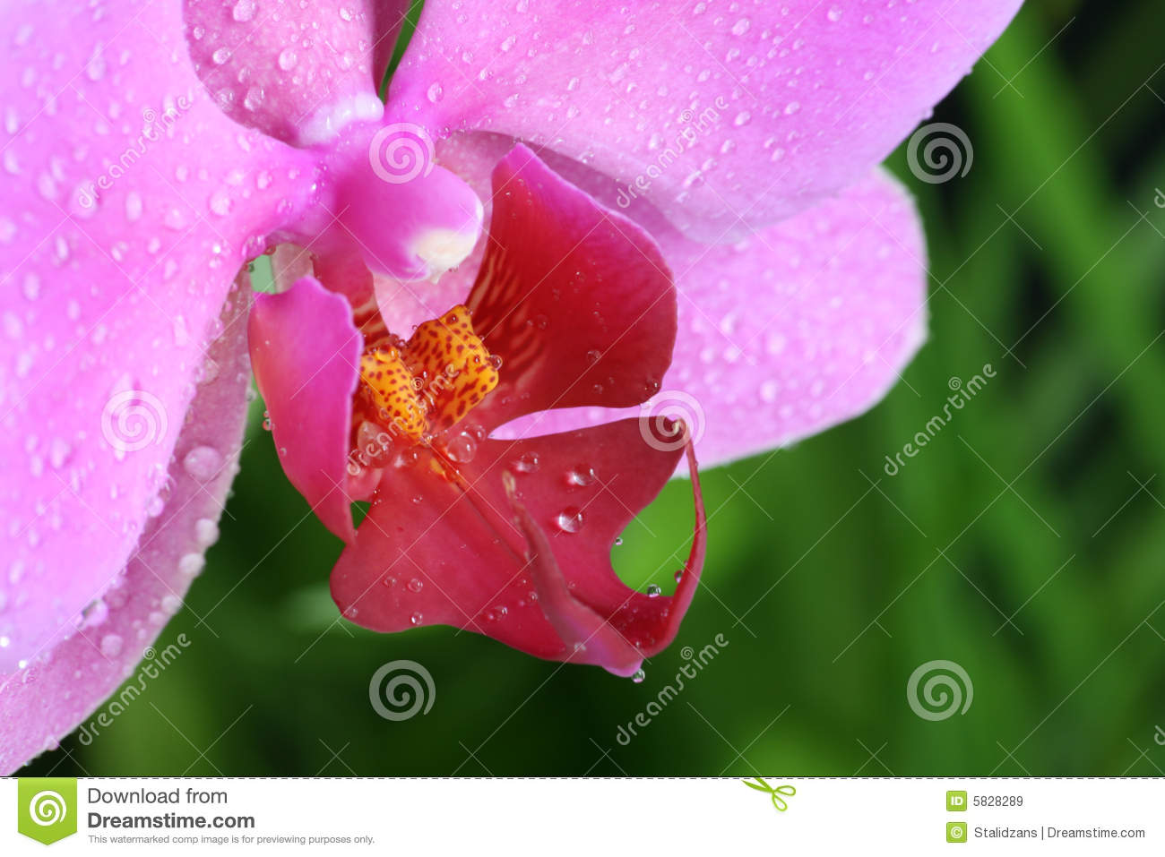 pink orchids close up - photo #33