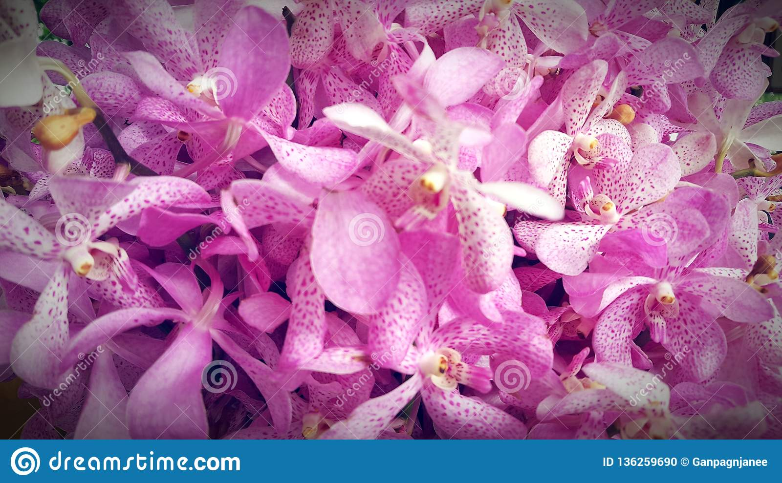 Pink Orchid Flower Stock Photo Image Of Color Exotic
