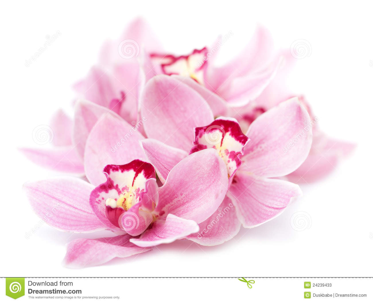 Pink Orchid Flowers Isolated Stock Image Image Of