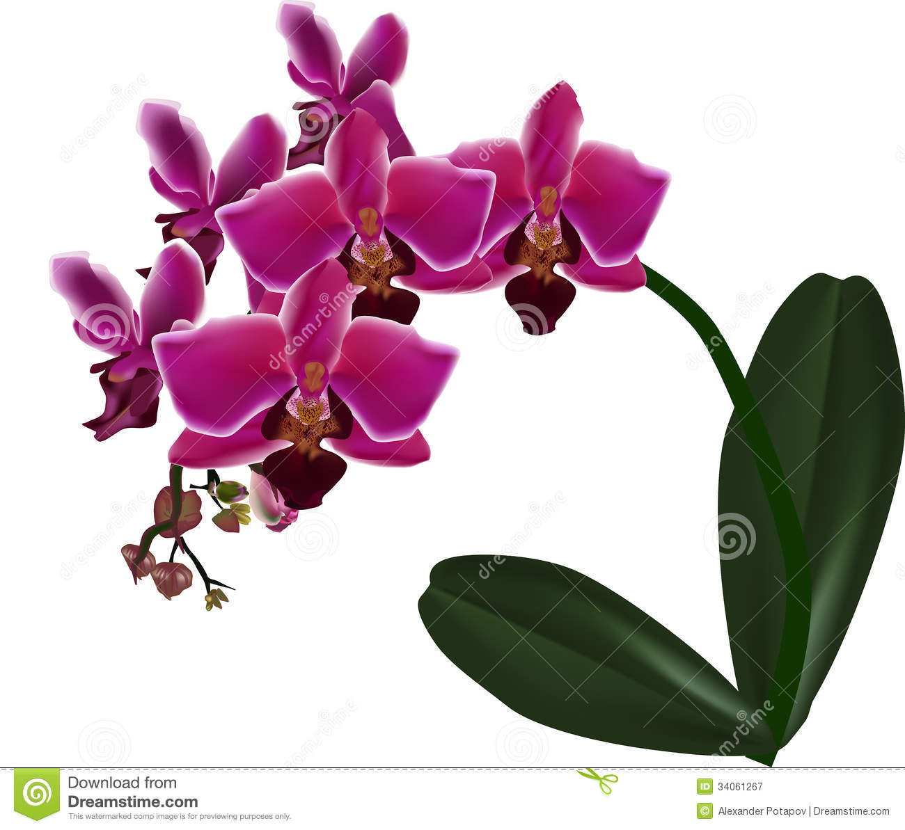 Pink Orchid With Green Leaves Isolated On White Royalty ...