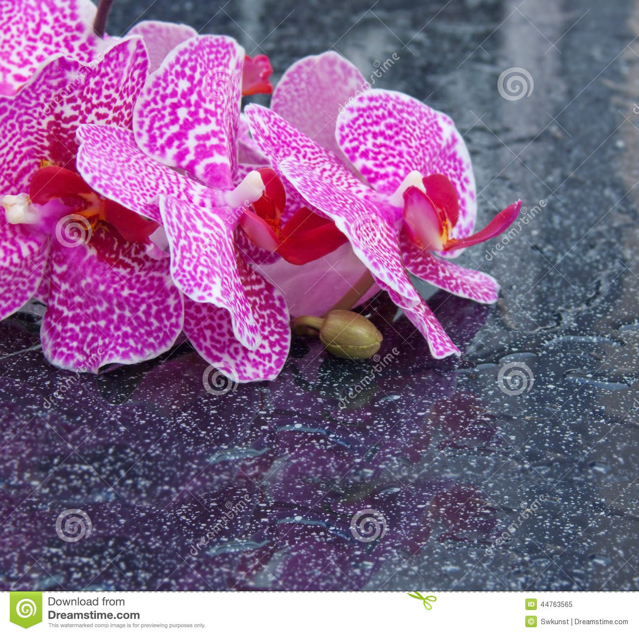 White Orchid Water Pink: Pink Orchid With Water Drops Isolated On Black Background