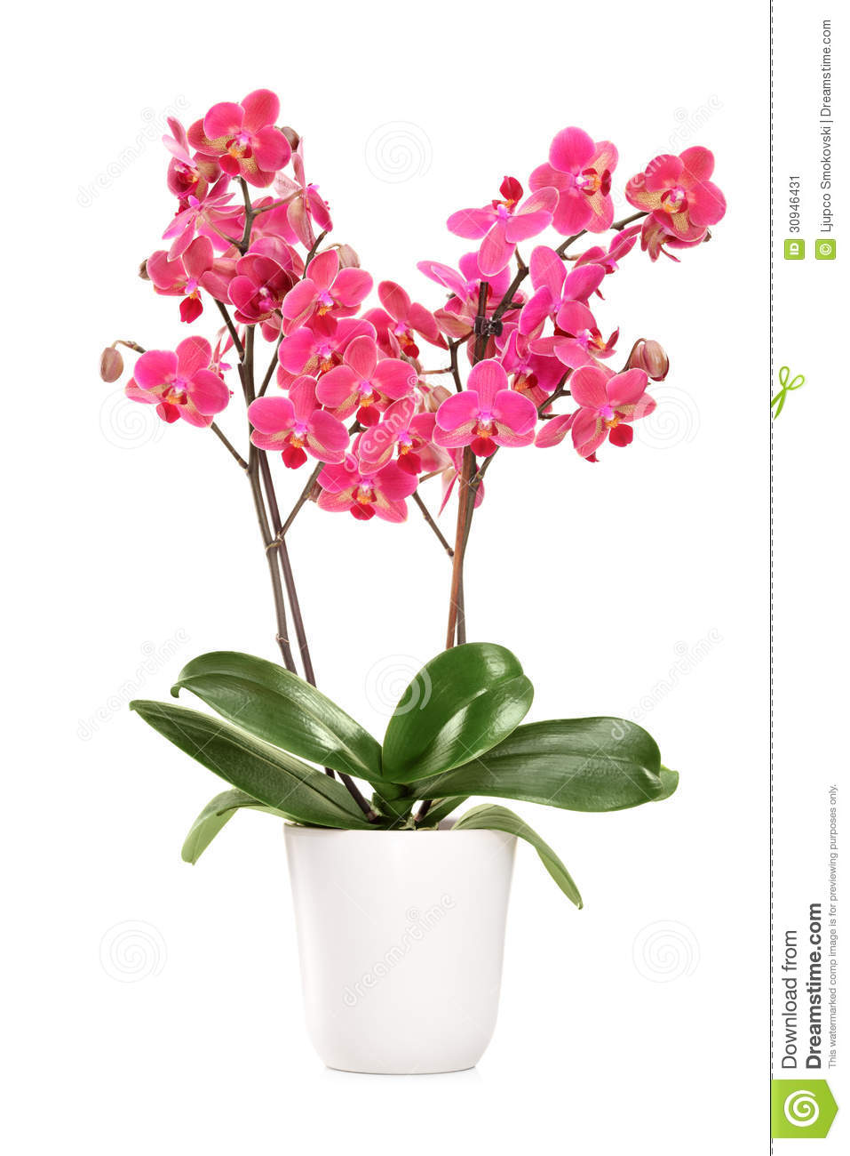 pink orchid in a white pot with many flowers stock image image of orchidaceous phalaenopsis. Black Bedroom Furniture Sets. Home Design Ideas